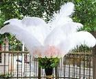set of 10 pcs real ostrich feathers